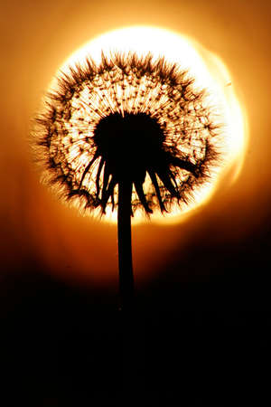 Silhouette of dandelion, sunset is sun on background. Warm summer colors.