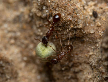 Two red ants helping each other carry a grain