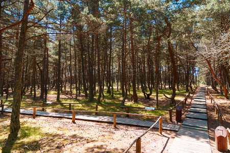 Russia, Kaliningrad region, the Curonian spit, bent trees in natural anomaly Dancing forest Imagens