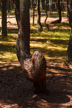 Russia, Kaliningrad region, the Curonian spit, bent trees in natural anomaly Dancing forest
