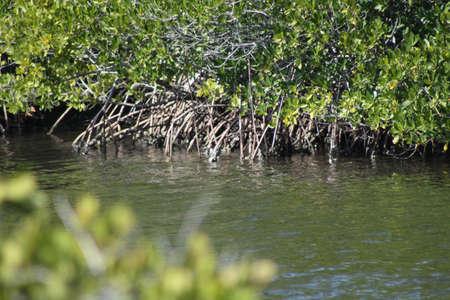 mangroves: mangroves