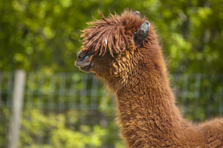 Funny looking woolly llama with hair in front of his eyes photo