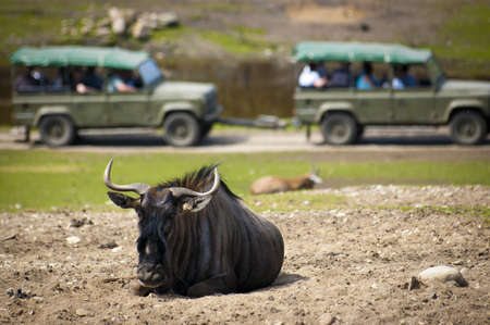 jeep: Wildebeest resting on dusty patch in a safari park, while a guided tour pass by in the background