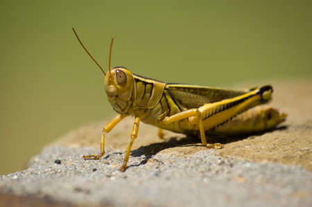 macroshot: Macroshot of a big yellow grasshopper sitting on a rock in the sun
