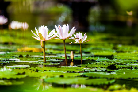 peacefull: Lotus flower Stock Photo