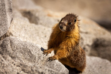 curiously: Standing marmot watching curiously in the middle of grey rocks