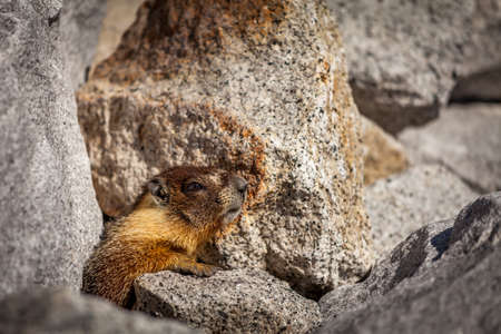 Wild marmot profile view in the middle of grey rocks