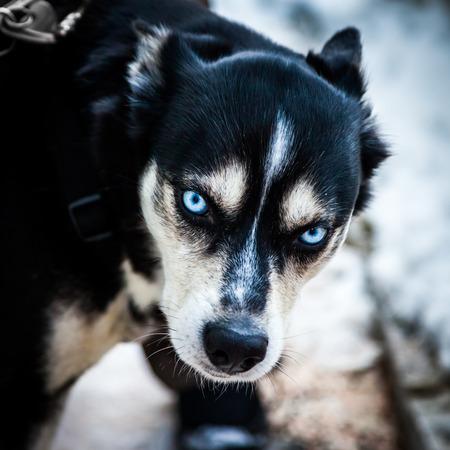 impressive: Impressive siberian husky dog ??with awesome blue eyes clear watching