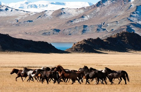 horses running in the high mountains of mongolia during the golden eagle festiva