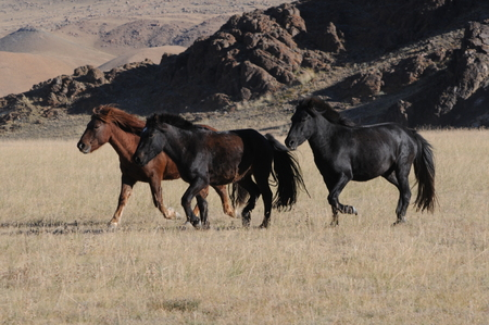 Mongolian horses in the mountains during the golden eagle festival