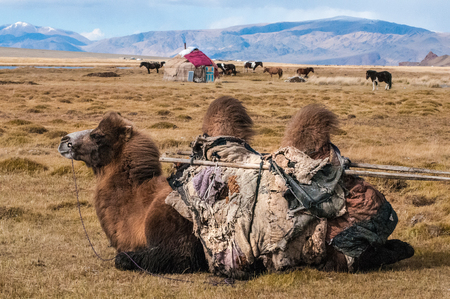 a mongolian kid riding a camel in a camel race in winter mongolia during the golden eagle festival