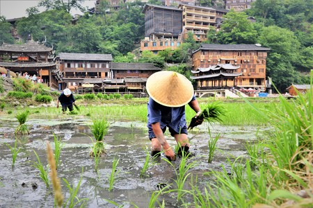 chinese Workers in a rice field and rice terraces Stock Photo