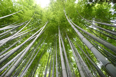 high green bamboo trees in the park in kyoto with long branches Stock Photo