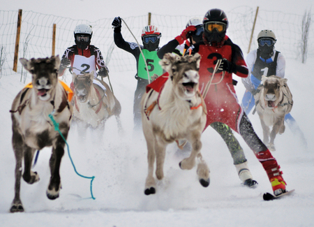 winter sport in lapland finland deer race competition in the deer league Zdjęcie Seryjne - 90214298
