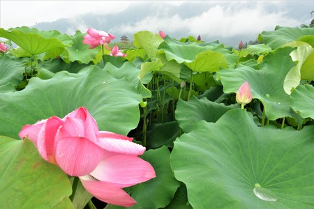 Lotus flower is a sign for love and passion in china stock photo lotus flower is a sign for love and passion in china stock photo picture and royalty free image image 90082487 mightylinksfo