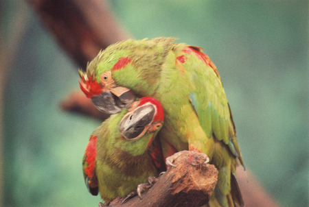 Pair of colorful beautiful parrots making contact