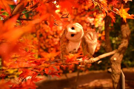 BEAUTIFUL OWL STARING AT US BETWEEN THE AUTOMN RED ORANGE SEASON LEAF IN JAPAN