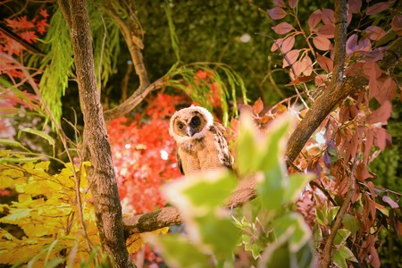 BEAUTIFUL OWL STARING AT US BETWEEN THE AUTOMN RED ORANGE SEASON LEAF IN JAPAN