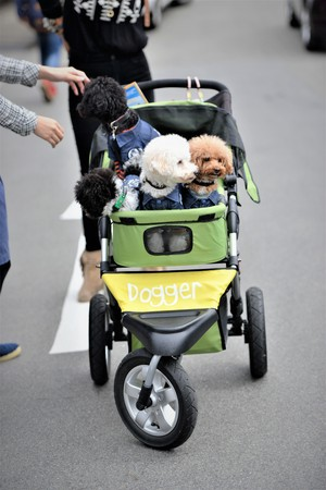 New trend in japan young couples adopt pet dogs and travel with them all over in baby carriages Stock Photo
