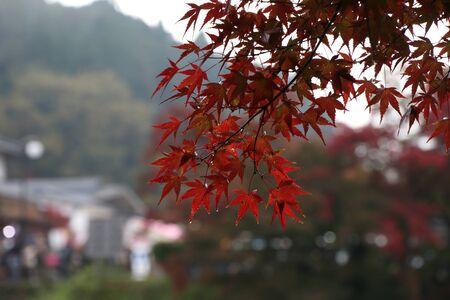 closeup red leaves maple japan when it rains, momiji japan
