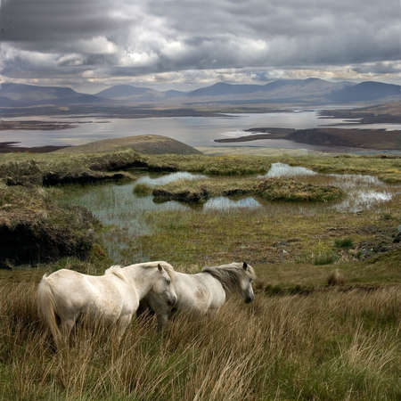 Wild horses free to roam around Achill Island Ireland.