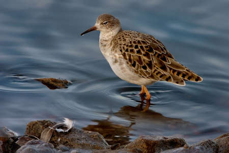 A female Ruff searching for food in the shallow water of a lake in Lancashire England. Stock Photo