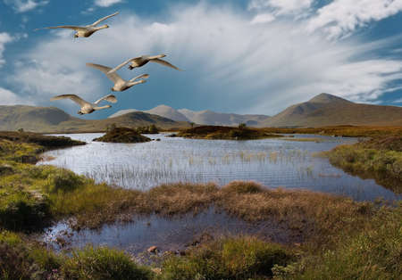 Whooper Swans fly over Rannoch Moor Scotland.