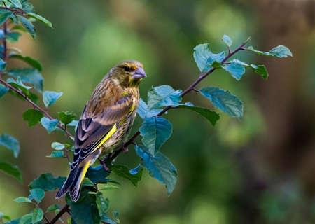 greenfinch: Male Greenfinch in a garden on a branch.