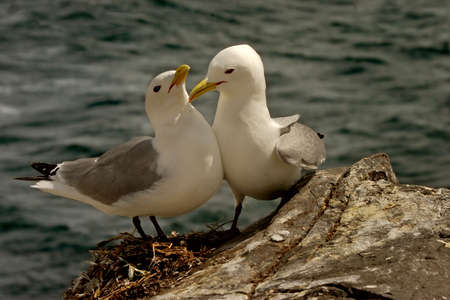 A male and female Kittiwake get together at Bempton Cliffs, Yorkshire, England. Stock Photo - 6180922