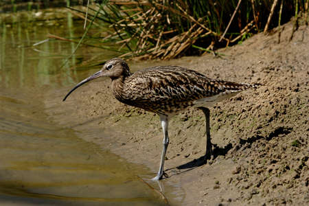 A Curlew approaches the river in Norfolk, England. Stock Photo - 6264474
