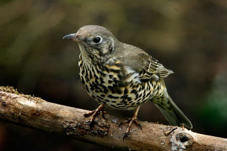 A Song Thrush on a branch.