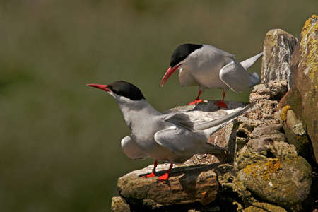 Male and female Arctic Terns on the Farne Islands, Northumberland, England. Stock Photo - 6579757