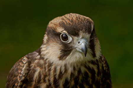 An Eleonoras Falcon. It inhabits Mediteranian islands. Stock Photo