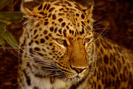 The Amur Leopard is an endangered species and is natve to the far east. photo