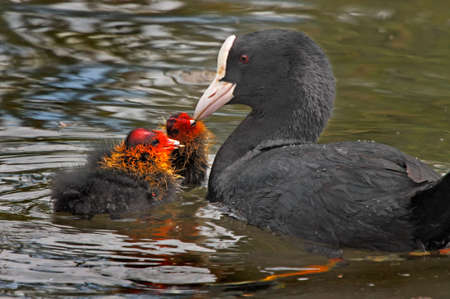 coot: A female Coot feeding her two chicks on a lake in Norfolk, England. Stock Photo