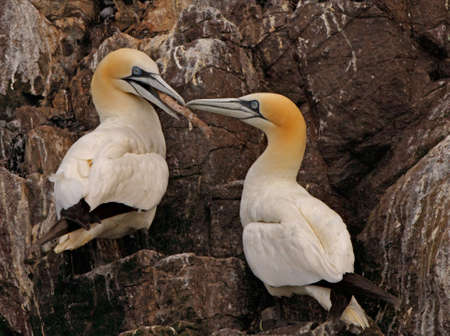 A male and female Northern Gannet together on Bass Rock, which is in the Firth of forth, Scotland. Stock Photo