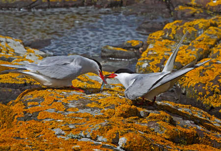 A male Arctic Tern passes his catch to a female, on the Farne Islands in Northumberland, England. Stock Photo - 7238359