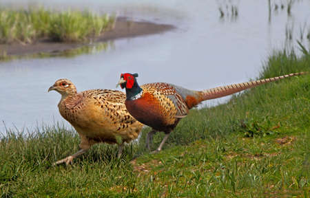 A male and a female Pheasant beside a lake in Norfolk, England.
