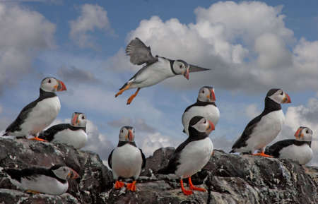 Puffins on a cliff top on the Farne Islands in Northumberland, England.