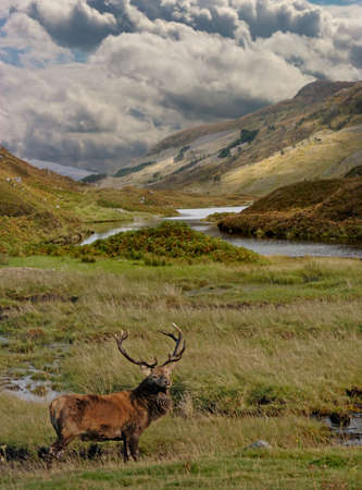 moorland: A Red Deer Stag in the Scottish Highlands. Stock Photo