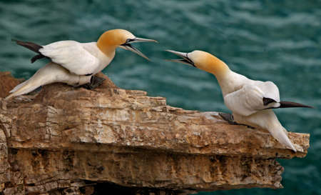 Northern Gannets gather in Spring, to breed on the rocky coast at Bempton Cliffs in Yorkshire, England. Stock Photo - 8490152