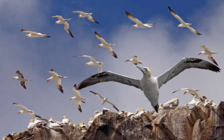 Northern Gannets gather together during the breeding season on Bass Rock, an island in the Firth of Forth, near Edinburgh in Scotland. Stock Photo - 8621504