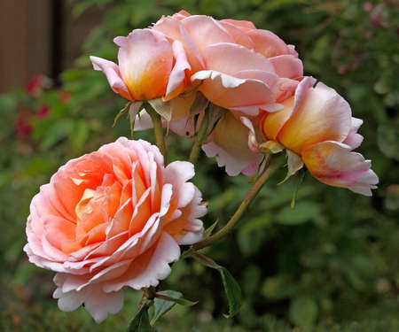 The Abraham Darby rose has blooms that have shades of pink, apricot and yellow and can grow up to about five feet tall.