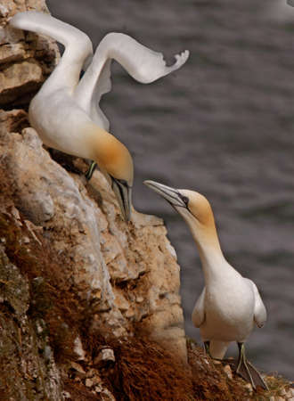 A male and a female Northern Gannet get together at Bempton Cliffs on the Yorkshire coast in England. Stock Photo - 8701909