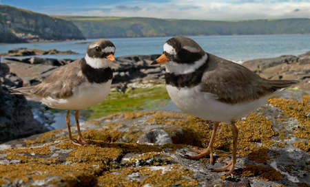 A pair of Ringed Plovers by the coast in Pembrokshire, Wales. Stock Photo - 9266482