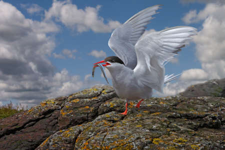 An Arctic Tern lands on the Farne Islands with food for its young.