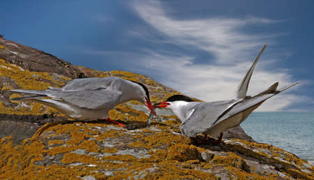 A male Arctic Tern gives his catch to the female on the Farne Islands near the coast of Northumberland, England. Stock Photo - 9266483