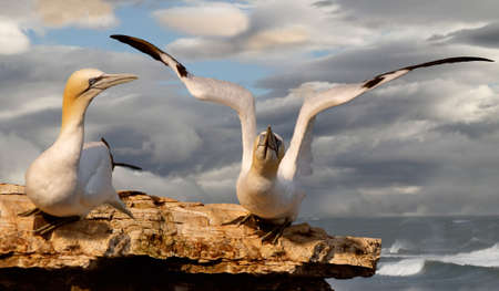 A pair of Northern Gannets on Bempton Cliffs in Yorkshire, England. Stock Photo - 9767652