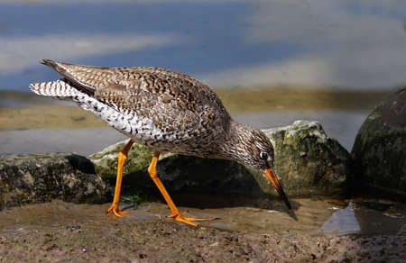 wader: This wader is an adult Redshank looking for food on an estuary in Norfolk, England.