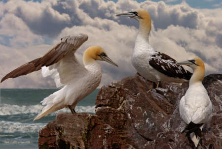 immature: Immature young Northern Gannets gather together on Bass Rock in Scotland during the summer months.